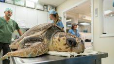 Tortugas de mar aquejadas de tumores abarrotan un hospital de Florida