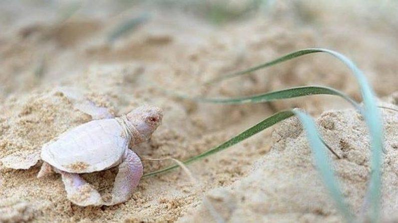 Encuentran una tortuga albina en Australia   Animales   LA GRAN ÉPOCA