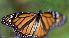 Tormenta invernal en México: Las mariposas monarca resisten el fuerte clima