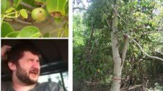 Manzanillo de playa: el árbol más peligroso del mundo