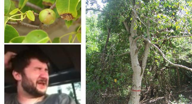 Arriba a la izquierda: el fruto mortal de un árbol de manzanillo de playa en Costa Rica. (Hans Hillewaert / Wikimedia Commons) Abajo a la izquierda: Adam Anderson después de un encuentro con un fruto que en Antigua recibe el nombre manchineel, ver vídeo a continuación. (Captura de pantalla / YouTube). Derecha: El árbol de manzanillo de playa. (Wikimedia Commons)