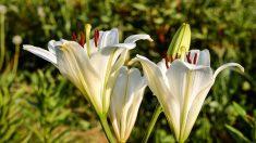Lirio blanco, belleza, comida y medicina en una sola planta