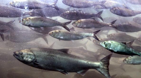 8.4 millones de salmones ya han muerto por efecto de las microalgas (Foto: Jeff T. Green/Getty Images)