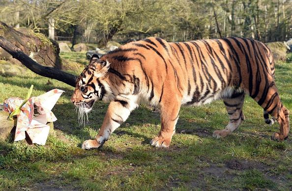La mayor población de tigres está en India, donde viven más de la mitad de todos los tigres del mundo (2.226, según el último recuento). JEAN-FRANCOIS MONIER/AFP/Getty Images)