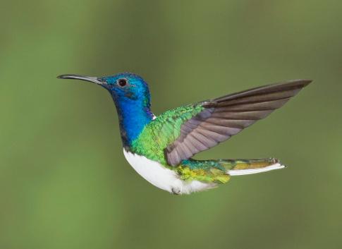 """El nombre de """"colibrí"""" (""""hummingbird"""") viene del zumbido de alas batientes que son de 75 a 200 pulsaciones por segundo. Foto: Image by David G Hemmings/ Getty Images"""