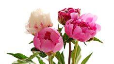 Las Peonías, las reinas de las flores