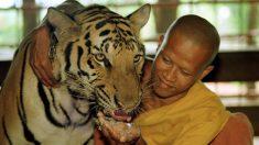 Los tigres en Camboya están prácticamente extintos