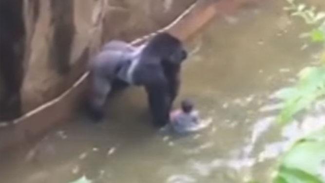 Matan a un gorila en Zoo de Estados Unidos para salvar a un niño
