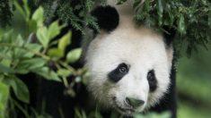 Los pandas como estrategia diplomática de China