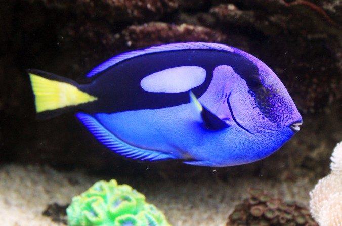 Paracanthurus hepatus o pez cirujano regal ahora será más conocido como Dory. (Karel J/CC BY-SA 3.0)