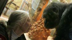La experta en primates Jane Goodall opina sobre la muerte del gorila Harambe en el zoológico de Cincinnati