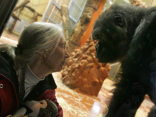 La experta en primates Jane Goodall frente a un gorila en el Zoológico de Budapest, febrero de 2008. (ATTILA KISBENEDEK/AFP/Getty Images)