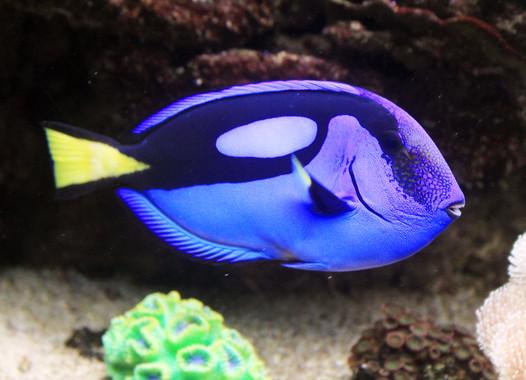 Cada año se capturan de los arrecifes de coral unos 400.000 peces cirujano azul, encarnados por Dory en Buscando a Nemo y la secuela Buscando a Dory. / Wikipedia