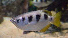 Los peces reconocen rostros humanos, demuestra nuevo estudio