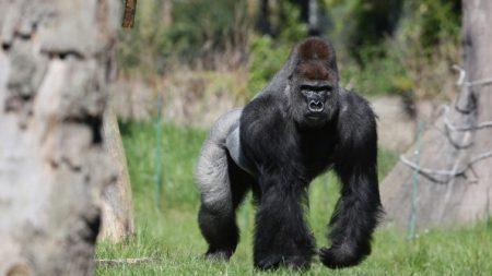 Zoológico de Cincinnati cerró su Twitter por comentarios sobre muerte del gorila Harambe