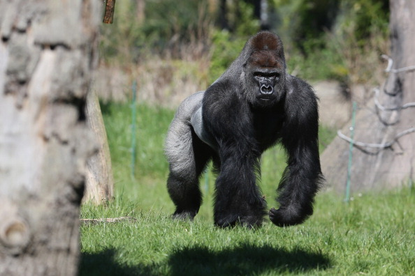 El gorila Harambe tenía 17 años. Era un macho de lomo plateado, especie en peligro de extinción. (Foto: Oli Scarff/Getty Images)