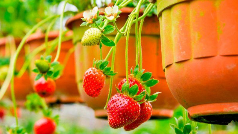 Consejos para tener las mejores y más ricas fresas orgánicas que puedes cultivar en macetas