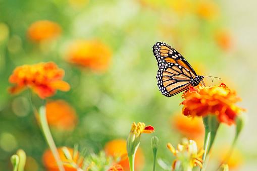 Con las recientes bajas en la población de abejas, hay una conciencia cada vez mayor del aporte que los polinizadores hacen al ecosistema (Foto: Getty Images)