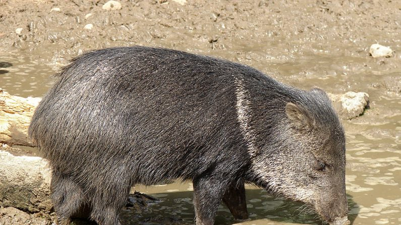 El zoo más grande de Caracas perdió distintas especies por inanición, entre ellos tapires, conejos, aves, cerdos vietnamitas y pecaríes. (Foto ilustrativa de un pecarí, Wikimedia Commons)