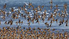 Estudio explica cómo las aves migratorias pueden dormir mientras vuelan