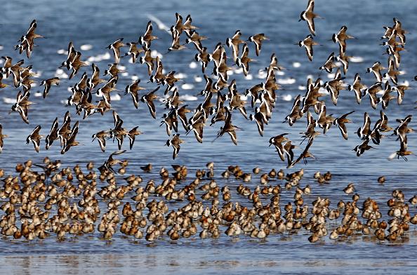 Aves migratorias pueden dormir mientras vuelan, agosto de 2016, China. ((Xinhua/Yang Shiyao via Getty Images)