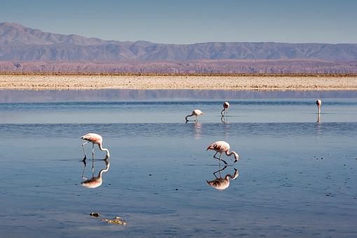 Sobreexplotación de agua pone en riesgo Salar de Atacama (Foto Santiago Urquijo / Getty Images)