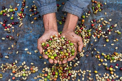 El Cambio Climático pone en riesgo la producción mundial de café, (foto Yunaidi Joepoet/Getty Images)
