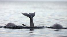 ¿Sabes por qué la ballena boreal puede vivir más de 200 años?