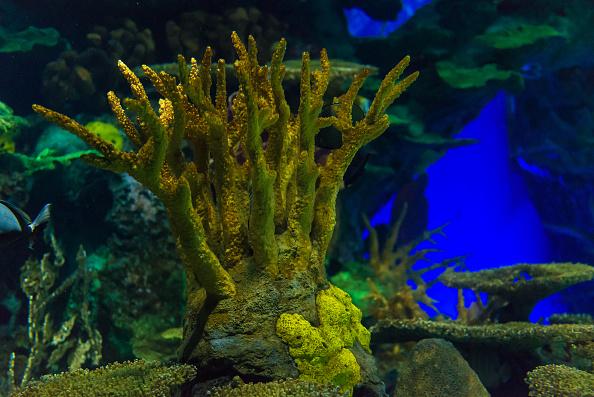 Los corales podrían desaparecer para el 2050. (foto Roberto Machado Noa/Getty Images)
