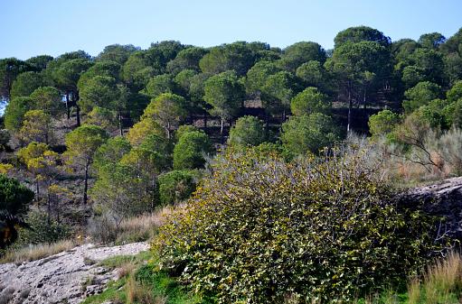 Predicen los efectos del cambio climático en los pinos mediterráneos de España (foto  Blanchi Costela/Getty Images)