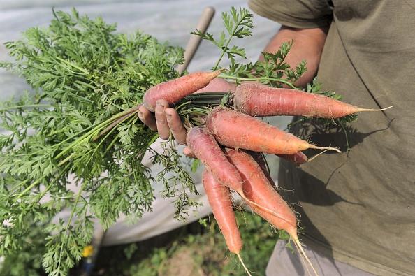 Gwenole Le Roy, agricultora orgánica francesa cultiva en la granja de su hogar zanahorias orgánicas en Plouescat, Francia, 9 de septiembre, 2014. (Fred Tanneau/AFP/Getty Images)