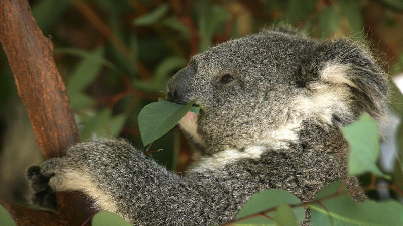 Un koala comiendo hojas de eucaliptus.  (David McNew/Getty Images)