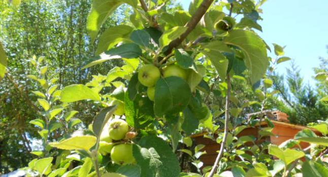 Plantas y árboles se adaptan al cambio climático. Árbol de manzano. (A G. La Gran Época)