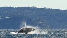 Las heces de las ballenas nos ayudan a respirar