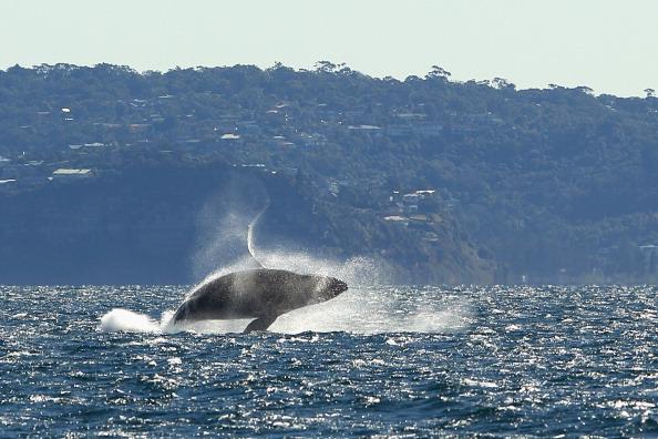 Las heces de la ballena era pieza faltante del rompecabezas para explicar la inmensa cantidad de oxígeno generado por el fitoplancton (Foto: Cameron Spencer/Getty Images)