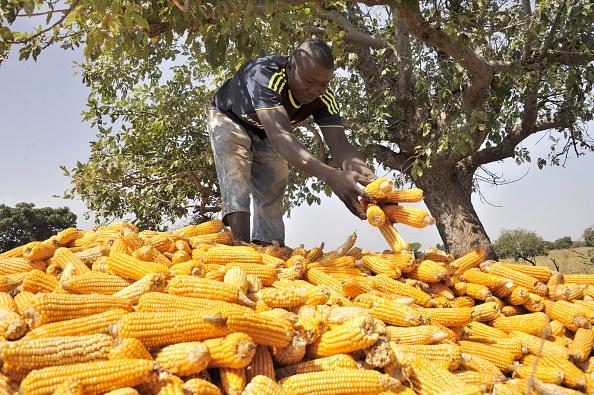 Bioplásticos: La única alternativa para el futuro, como el almidón de maíz (foto HABIBOU KOUYATE/AFP/Getty Images)