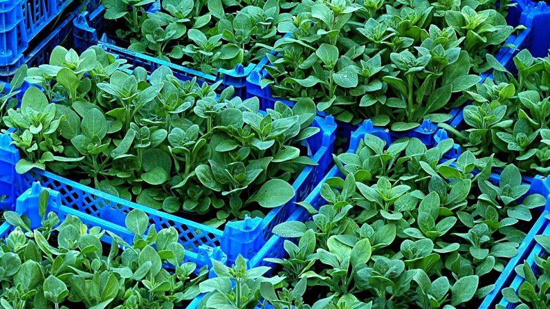 Resultado de imagen para Fitopatogenos que fomentan el crecimiento de las plantas