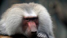 Los babuinos emiten cinco sonidos similares a las vocales humanas