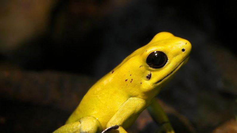 La rana dardo dorada (foto Wikipedia)