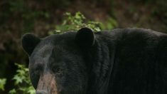 El ecoturismo mal regulado estresa a los osos