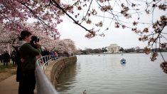 Florecieron los cerezos en Washington y empieza la fiesta