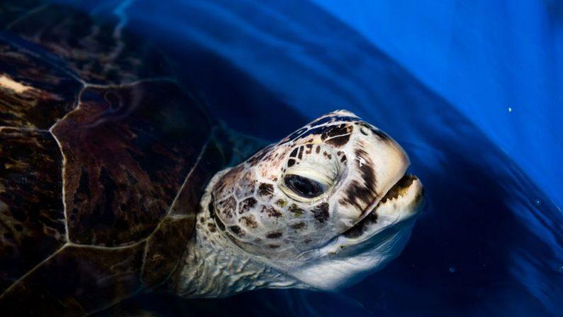Muere la tortuga gigante a la que operaron para sacarle 915 monedas (foto ROBERTO SCHMIDT/AFP/Getty Images)