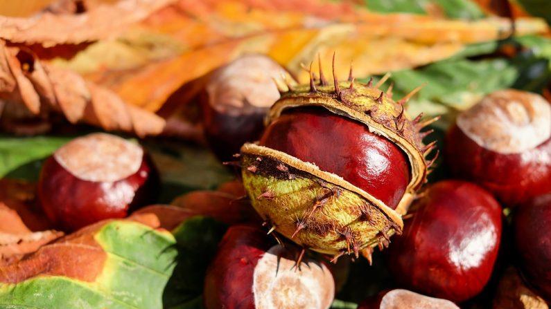 Cómo germinar castañas en casa (foto Pixabay)
