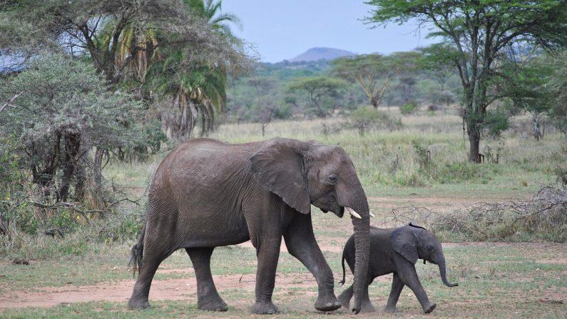 Elefantes duermen dos horas al día y pueden estar despiertos hasta 48 horas (Foto Pixabay)