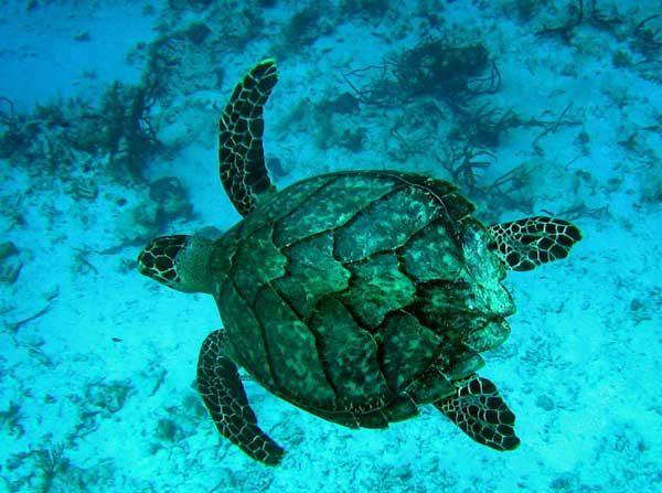 El tráfico de especies salvajes se da en el 30% de lugares protegidos. Tortuga carey/Wikipedia.