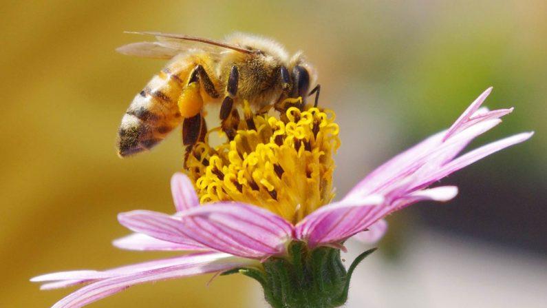 El aparato visual de las abejas de miel está formado por dos grandes ojos compuestos y tres pequeños ocelos (pequeños ojos). (Emran Kassim/CCBY 2.0.)