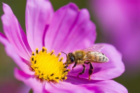 Las abejas son unas asombrosas pequeñas trabajadoras. (Jack Hong/Shutterstock)