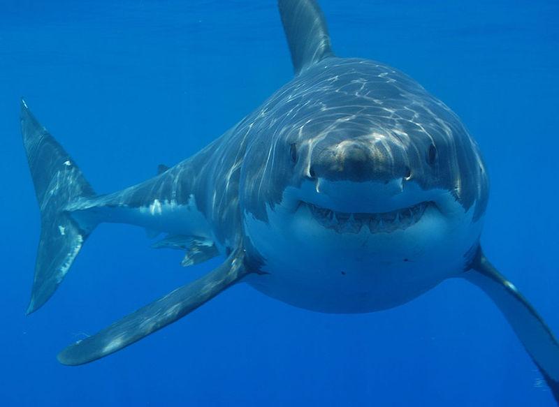Cuatro tiburones blancos fueron halldos muertos en las costas de Sudáfrica en condiciones impresionantes, gracias a una batalla sin precedentes entre titanes del mar (Hermanus Backpackers/Wikipedia).