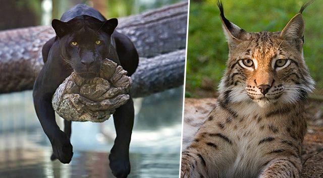 10 felinos depredadores tan hermosos pero de los que debes ...