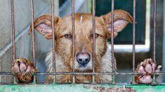 Decenas de perros destinados al matadero son rescatados en condiciones horribles en Corea del Sur